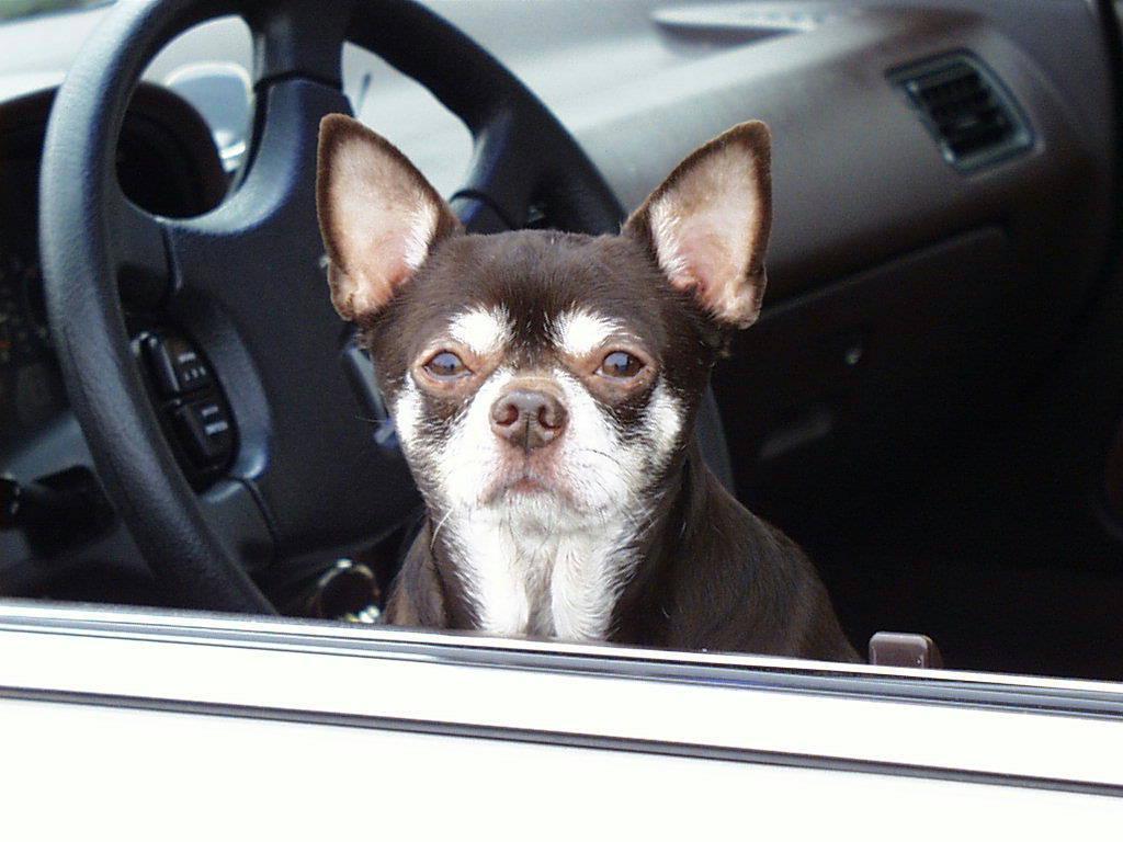 ChihuahuaDog_Car