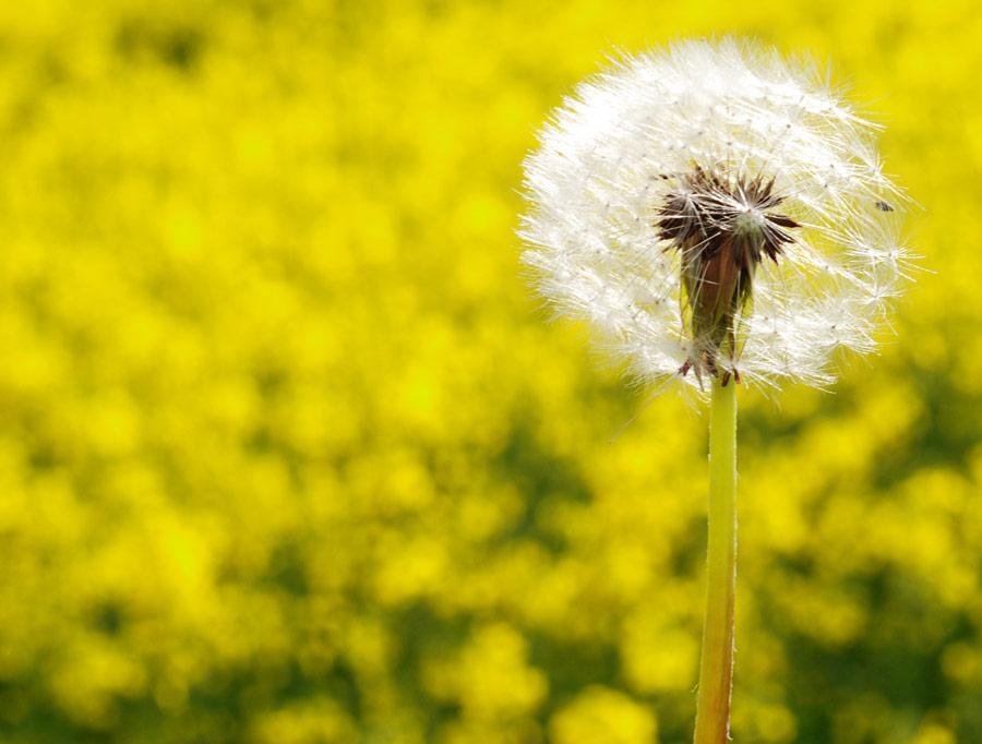 field_dandelions